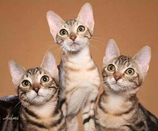 Сококе, сококе фото, сококе кошка фото
